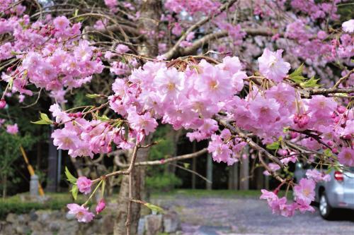 駐車場の枝垂れ桜.JPG
